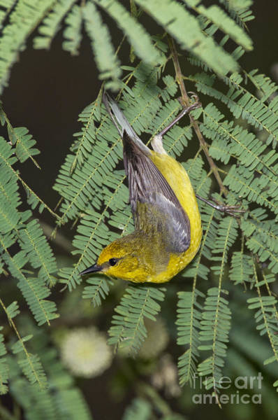 Parulidae Photograph - Blue-winged Warbler by Anthony Mercieca