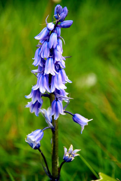 Photograph - Bluebell by Aidan Moran