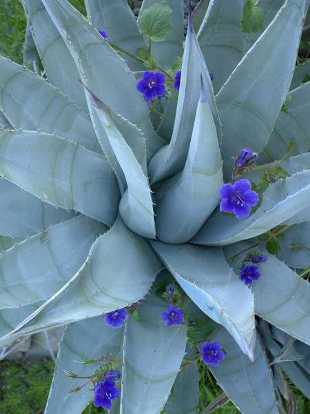 Campanulaceae Photograph - Bluebell And Agave  North America by Tim Fitzharris