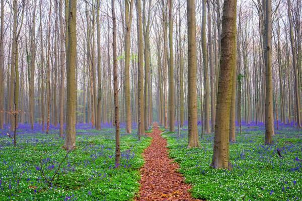 Jason Day Photograph - Bluebell Flowers In Hardwood Beech by Jason Langley
