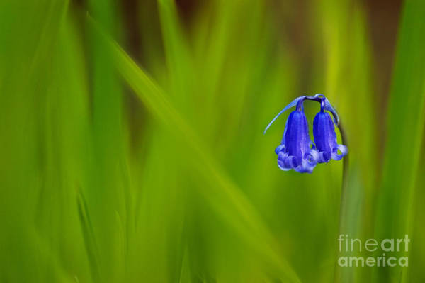 Bluebell Photograph - Bluebell by Janet Burdon