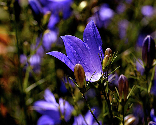 Photograph - Bluebell by Rona Black