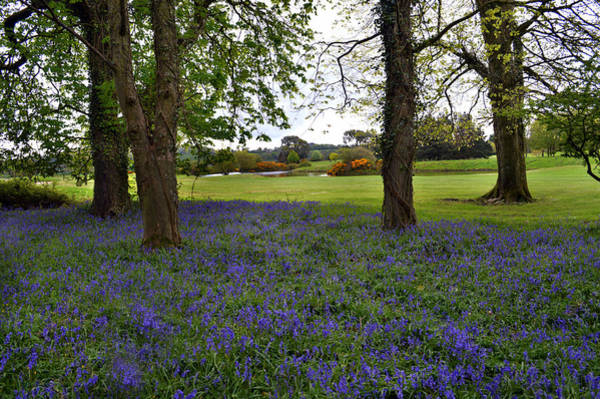 Wall Art - Photograph - Bluebell Wood Waterford by Terence Davis
