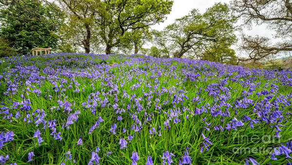 Bluebell Photograph - Bluebells by Adrian Evans