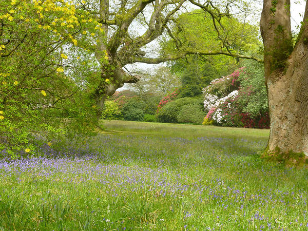 Bluebells And Rhododendrons Art Print by Rob Sherwood