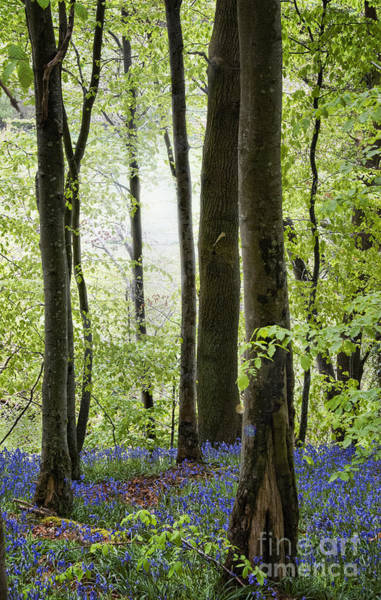 Wall Art - Photograph - Bluebells In The Woods by Juli Scalzi