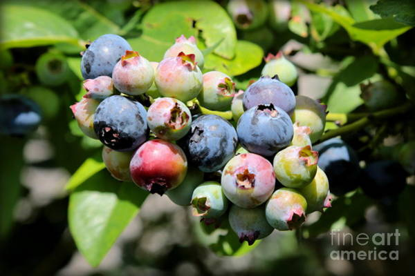 Wall Art - Photograph - Blueberries On The Vine by Carol Groenen