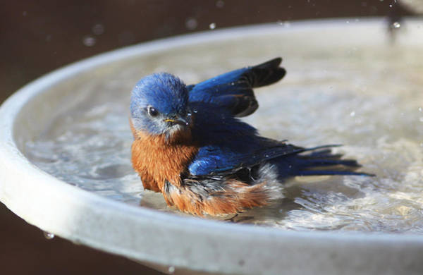 Photograph - Bluebird Bath by Jean Clark
