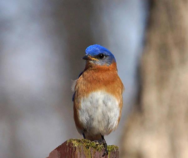 Photograph - Bluebird Close-up by Sandy Keeton