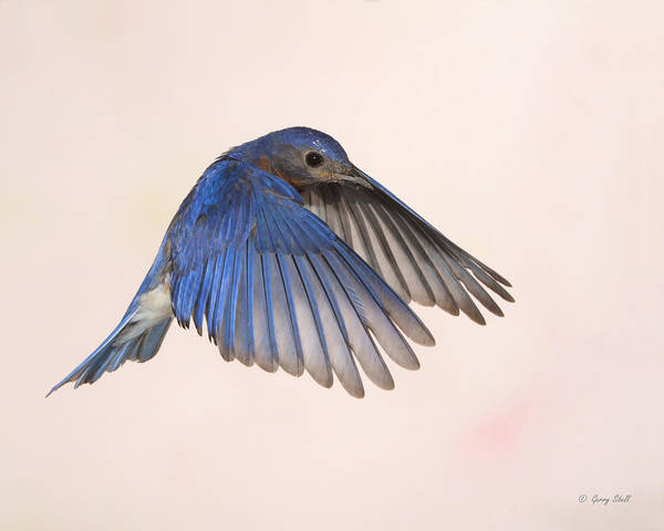 Photograph - Bluebird Dad by Gerry Sibell