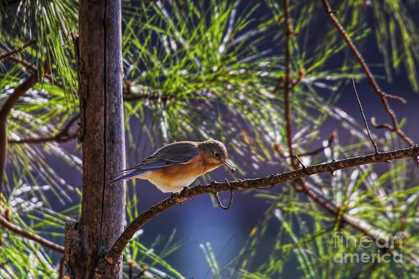 Photograph - Bluebird Grabs A Seed by Barbara Bowen