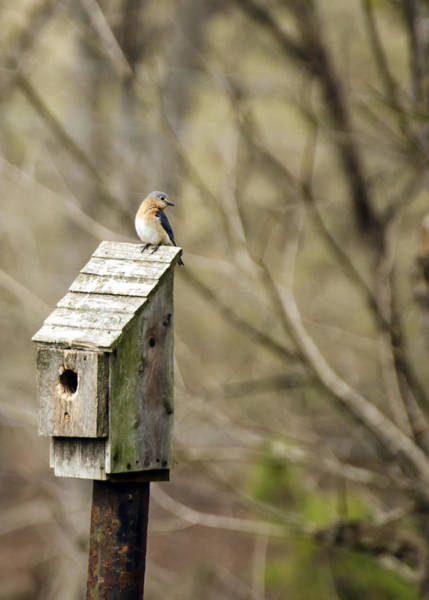 Photograph - Bluebird House by Heather Applegate