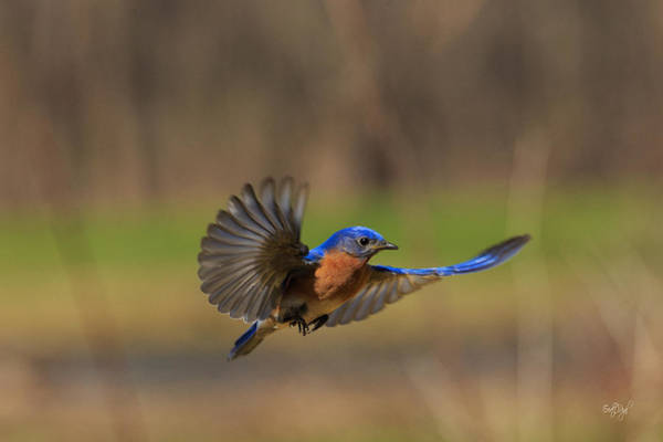 Wall Art - Photograph - Bluebird In Flight by Everet Regal