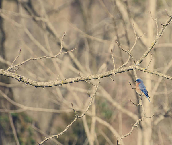 Photograph - Bluebird Of Happiness by Heather Applegate