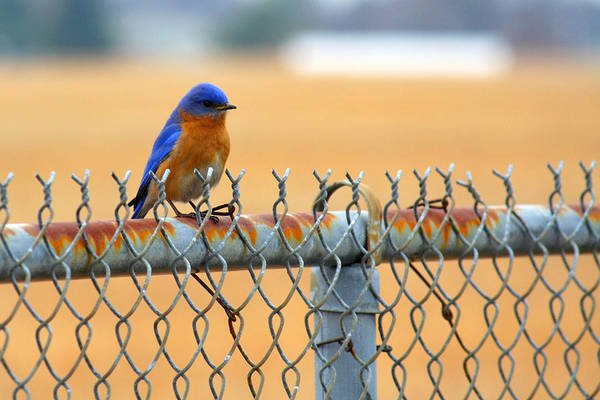 Photograph - Bluebird On A Fence by Jason Politte