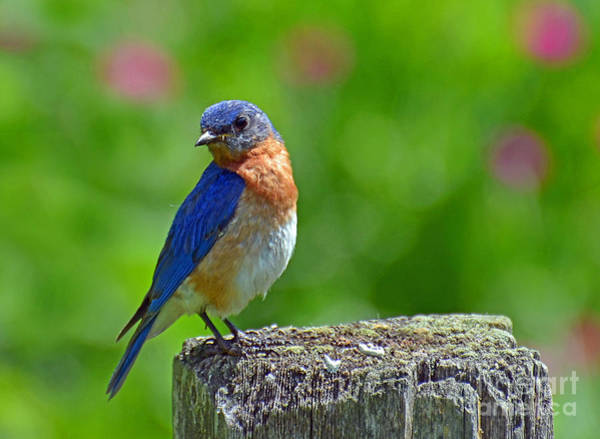 Photograph - Bluebird On A Fence Post by Rodney Campbell