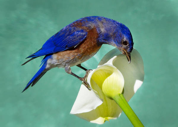 Turdidae Wall Art - Photograph - Bluebird On Calla Lily by Jean Noren