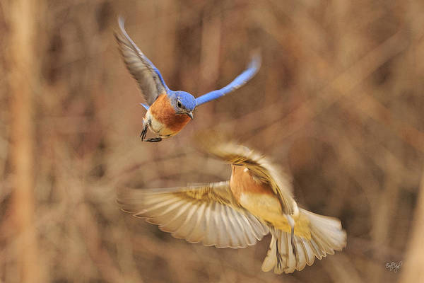 Mating Ritual Photograph - Bluebirds Aerial Art by Everet Regal