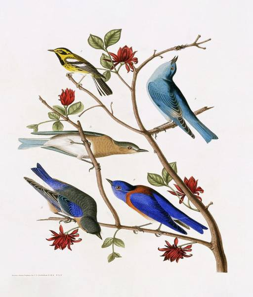 Wall Art - Photograph - Bluebirds And Warbler by Natural History Museum, London/science Photo Library