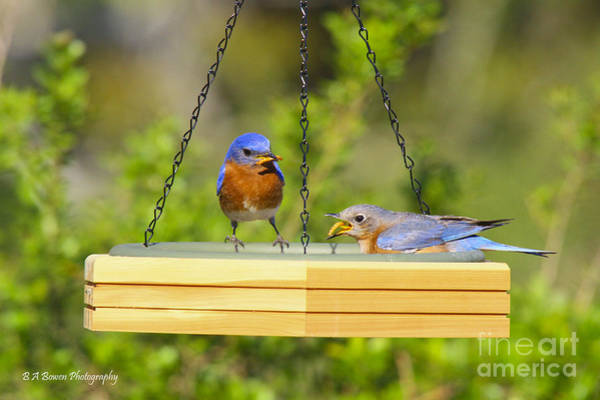 Photograph - Bluebirds Dining by Barbara Bowen