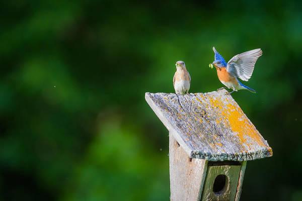 Photograph - Bluebirds Hunting For Dinner by Chris Hurst