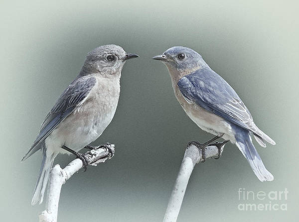 Photograph - Bluebirds In Love by Susan Candelario