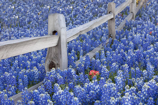 Texas Bluebonnet Photograph - Bluebonnet Fencepost In The Texas Hill Country by Rob Greebon