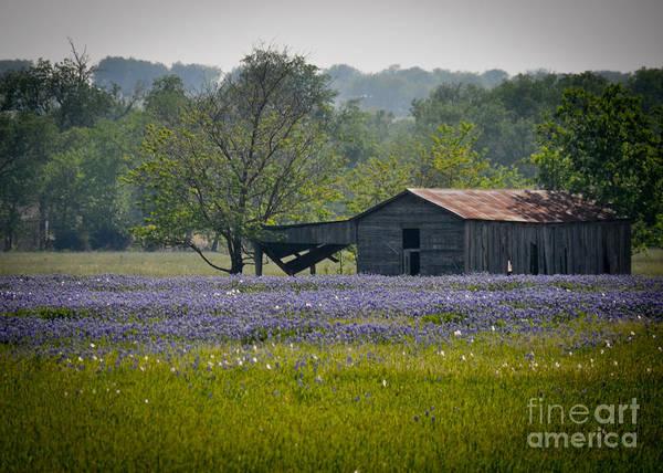 Photograph - Bluebonnet Field And Barn by Cheryl McClure