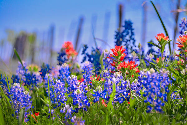 Wall Art - Photograph - Bluebonnet Paintbrush Texas  - Wildflowers Landscape Flowers Fence  by Jon Holiday