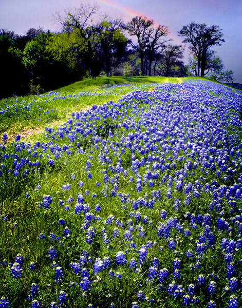 Texas Bluebonnet Photograph - Bluebonnets And Rainbow by David and Carol Kelly