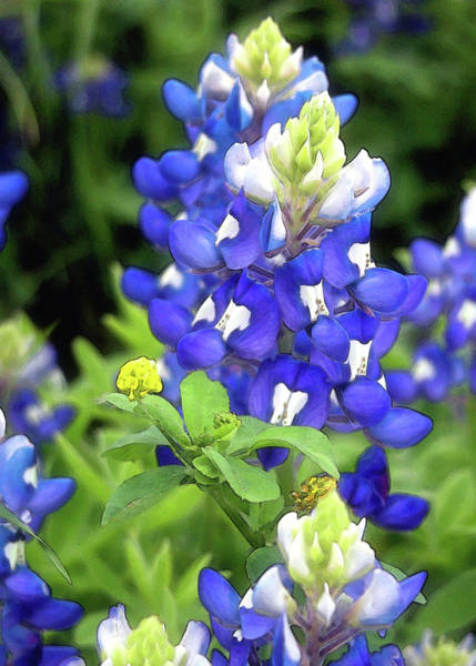 Texas Bluebonnet Photograph - Bluebonnets Blooming by Stephen Anderson