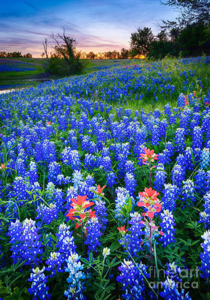 Expanse Photograph - Bluebonnets Forever by Inge Johnsson