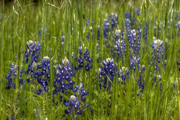 Texas Bluebonnet Digital Art - Bluebonnets In The Grass by Linda Unger
