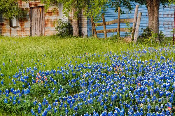 Bluebonnets Swaying Gently In The Wind - Brenham Texas Art Print