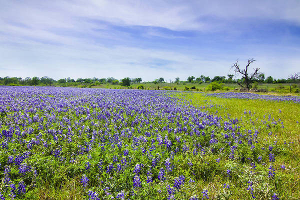 Wall Art - Photograph - Bluebonnets Under Blue Sky by Ellie Teramoto