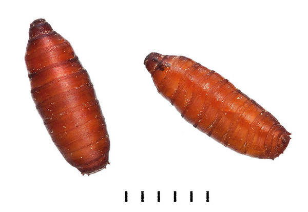 Pupa Photograph - Bluebottle Pupae by Natural History Museum, London
