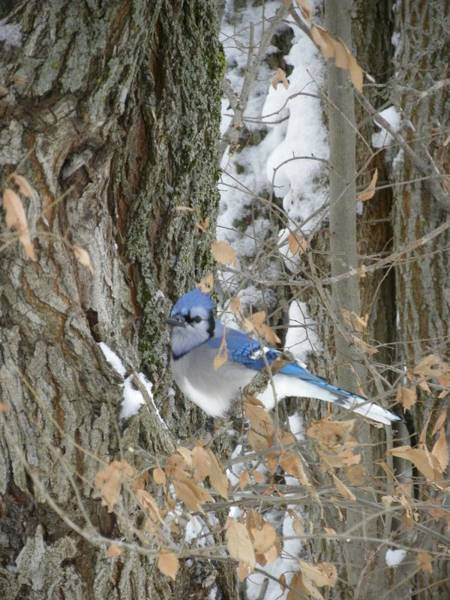 Photograph - Bluejay And Bark by Peggy  McDonald