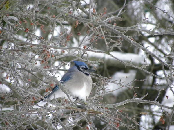 Photograph - Bluejay In Crabtree by Peggy  McDonald