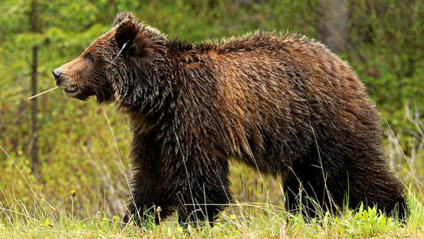 Grizzly Bear Photograph - Bluetooth Grizzly 2 by Stephen Stookey