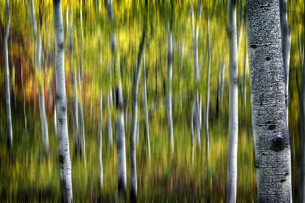 Photograph - Blurred Aspens by Michael Ash