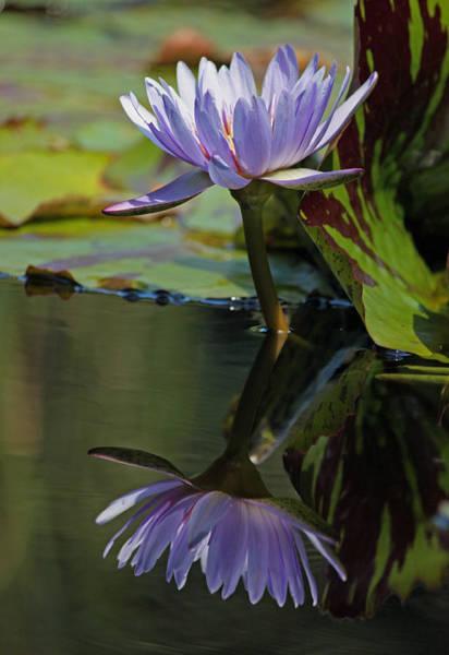 Seasonal Wall Art - Photograph - Blush Of Purple Water Lily by Suzanne Gaff