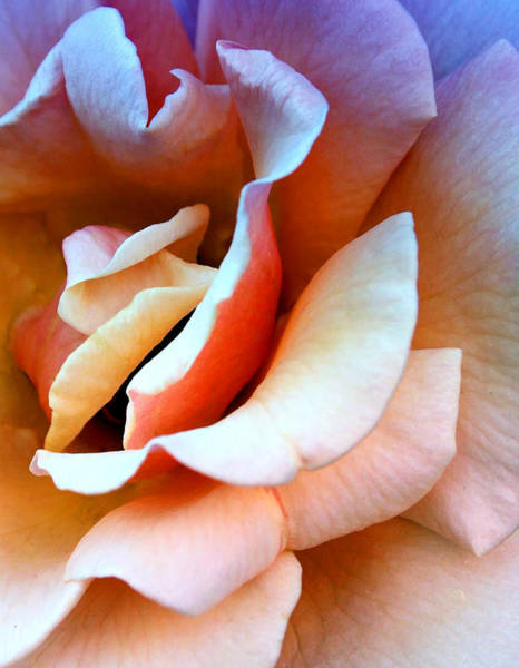 Desert Rose Photograph - Blush Pink Palm Springs by William Dey