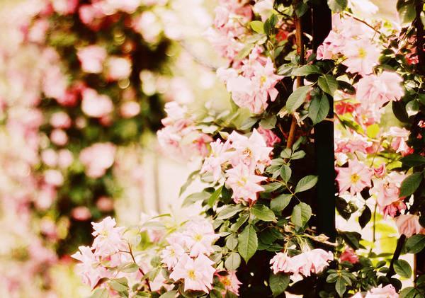 Cosmetics Photograph - Blush Roses by Jessica Jenney