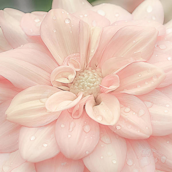 Drops Of Water Photograph - Blushing Dahlia by Julie Palencia
