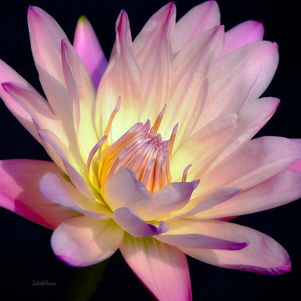 Photograph - Blushing Pink Water Lily by Julie Palencia