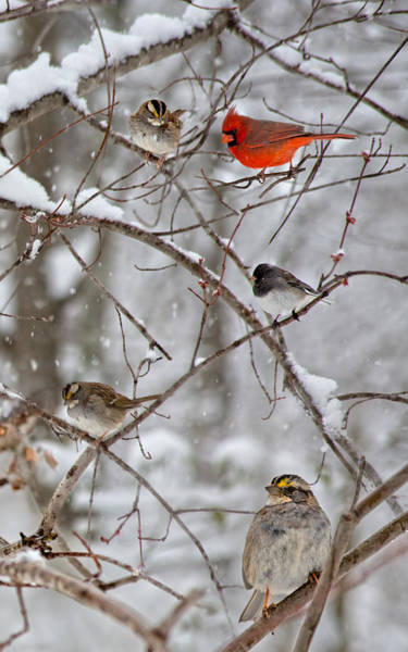 Bird In Tree Photograph - Blushing Red Cardinal In The Snow by Betsy Knapp