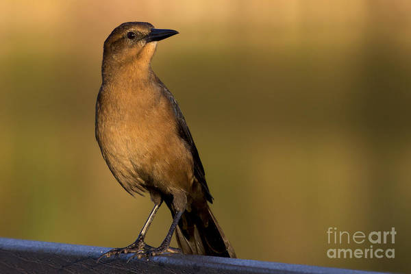 Photograph - Boat Tailed Grackle At Sunrise by Meg Rousher