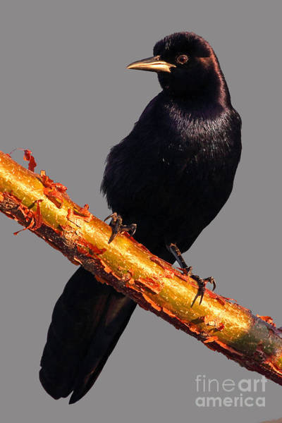 Photograph - Boat-tailed Grackle by Meg Rousher