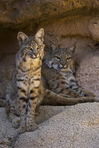 Photograph - Bobcat 8 by Arterra Picture Library