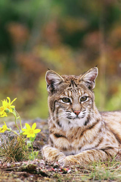 Wall Art - Photograph - Bobcat By Flowers by Animal Images